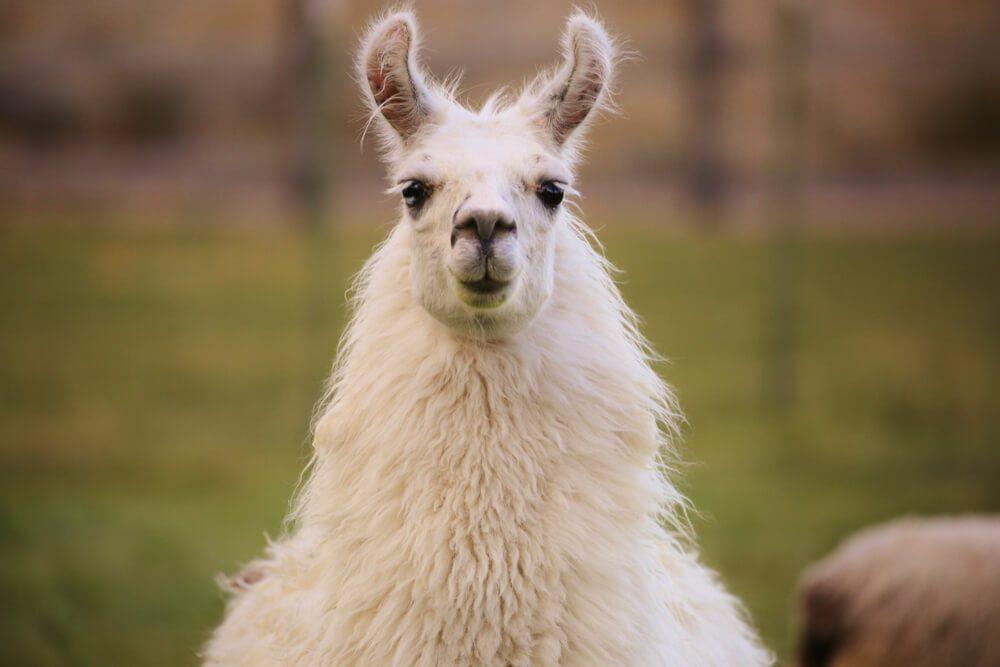 Lamas machen eine Familienwanderung unvergesslich. (Bild: Moments Photography.site - shutterstock.com)