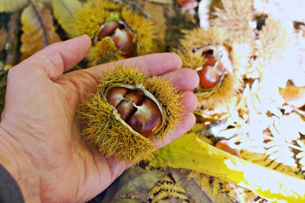 Ein Kastanienwald hat im Herbst besonderen Charme. (Bild: RaffMaster - shutterstock.com)